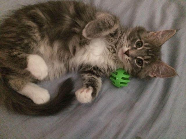 beautiful maine coon kittens for sale in falls