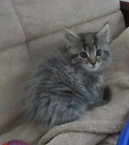 Beautiful maine coon mix kitten female