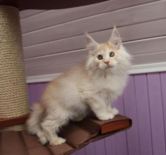 Beautiful Mainecoon Kittens Tica Registered for Sale in