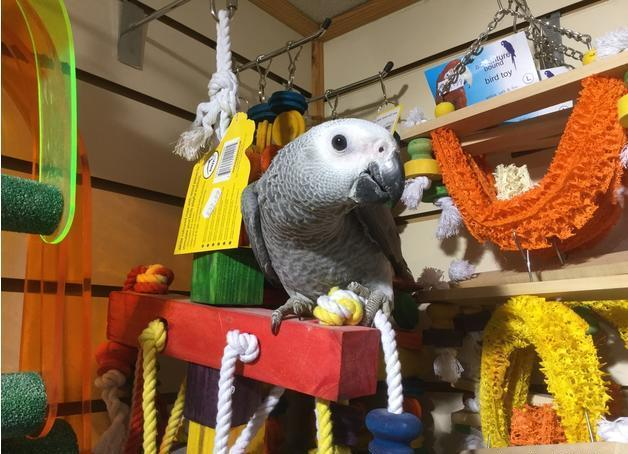 Beautiful male African grey and cage