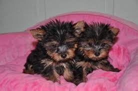 beautiful male and female yorkie pups ready