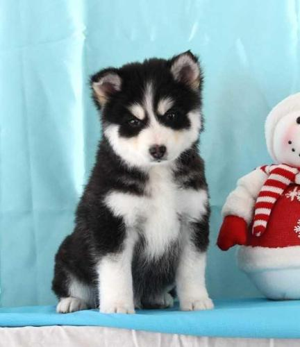 BEAUTIFUL males and females pomsky puppies with sweet personality   Se