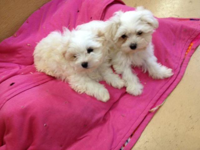 maltese for sale in va beautiful malshi maltese shih tzu puppies for sale in 5661