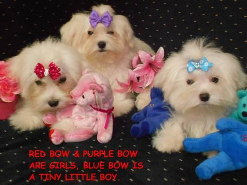 Yorkie Puppy Pets And Animals For Sale In Conroe Texas Puppy