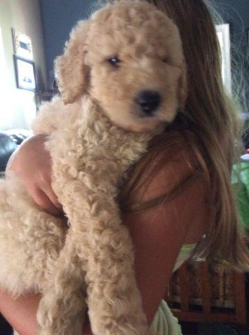 Beautiful Mini F2b And Standard Size F1b Goldendoodle