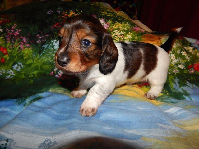 BEAUTIFUL MINIATURE DACHSHUND LONGHAIR PIEBALD GIRL