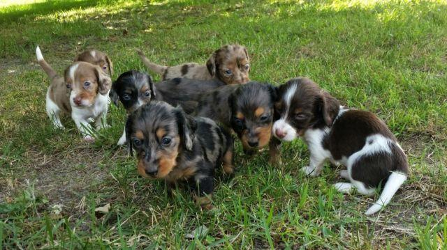 Wirehair Dachshund For Sale In North Carolina Classifieds Buy