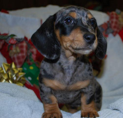 Beautiful Miniature Dachshund Puppy Black And Silver Dapple For