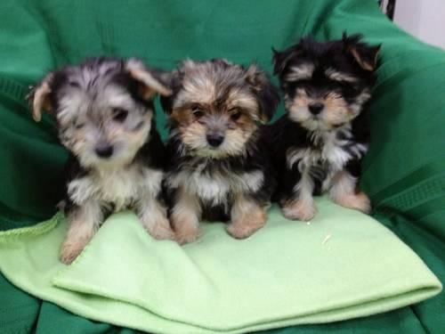 yorkie maltese puppy for sale beautiful morkie maltese yorkie puppies for sale in 1853