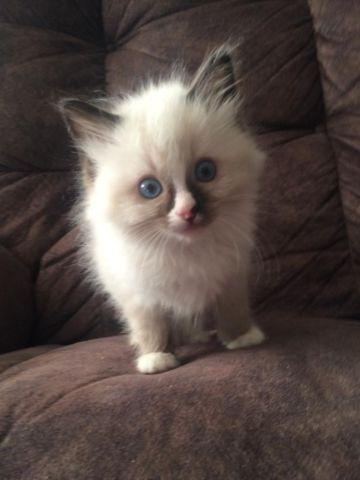 Beautiful Pedigree Ragdoll Kittens--12 weeks old