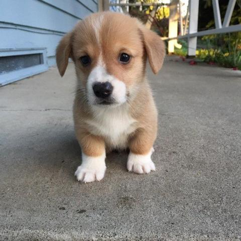 Pets And Animals For Sale In North Las Vegas Nevada Puppy And