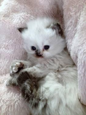 BEAUTIFUL Persian and Himalayan kittens 2 Left!!! New