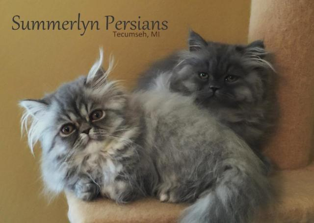 Beautiful Persian Kittens AVAILABLE NOW
