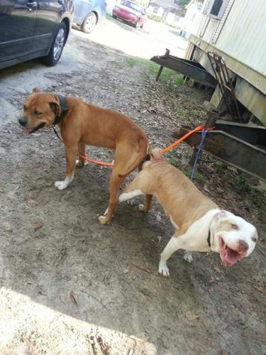 beautiful pitbull puppies for sale for Sale in Columbia ...