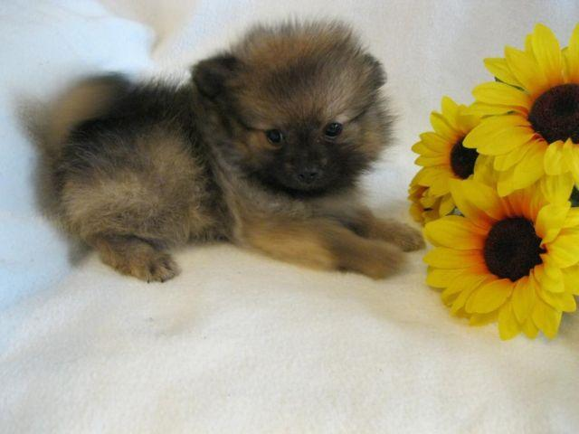 Beautiful Pomeranian Babies For Sale In Cullman Alabama Classified