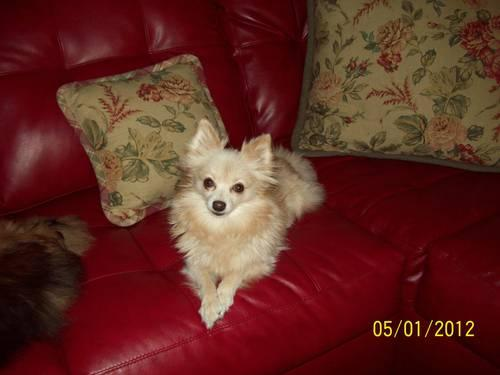 BEAUTIFUL POMERANIAN PUPS DUE OCTOBER 17, 2012...
