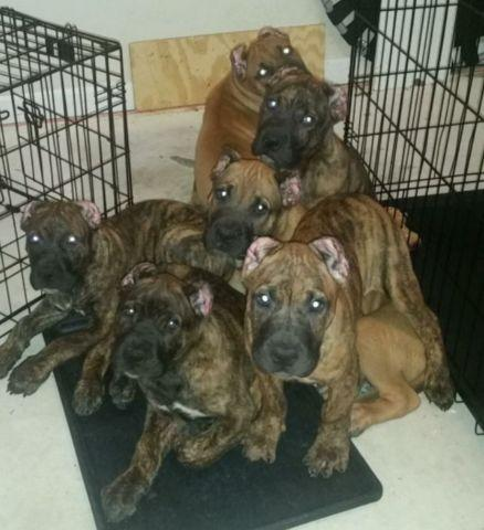 Beautiful Presa Canario Puppies With Ears Cropped For