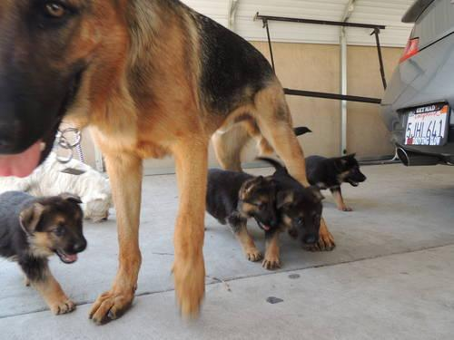 red and black german shepherd puppies for sale pin beautiful pure bred black and red german shepherd 3282