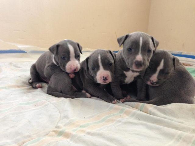 Pure Pitbull For Sale In Florida Classifieds Buy And Sell In