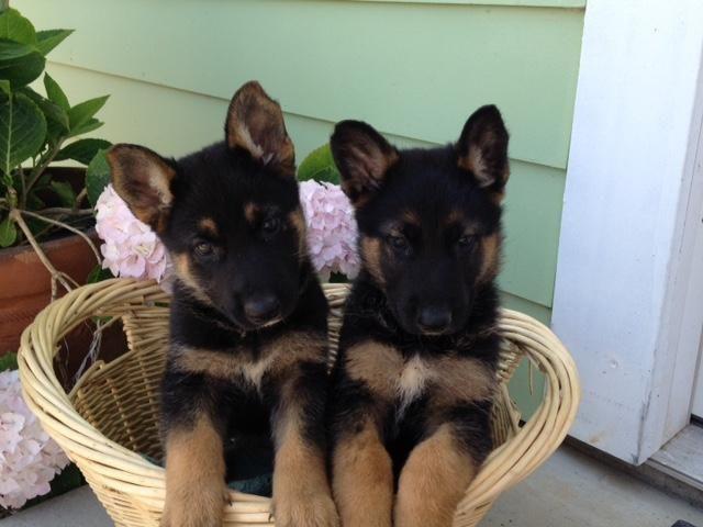 Beautiful Purebread German Shepherd Puppies For Sale In Porterville