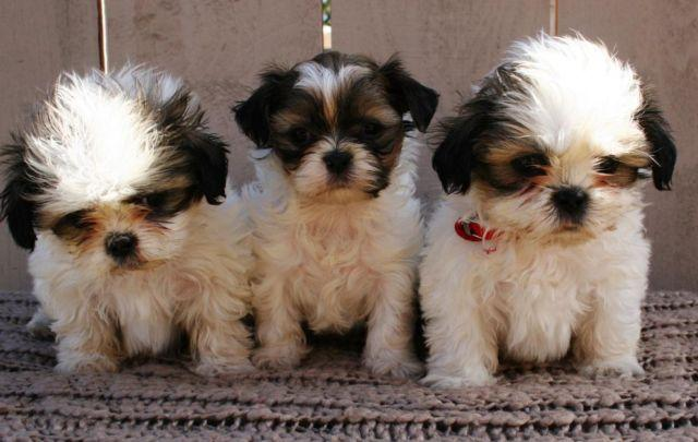 shih tzu purebred beautiful purebred shih tzu puppies for sale in lakeside 7741