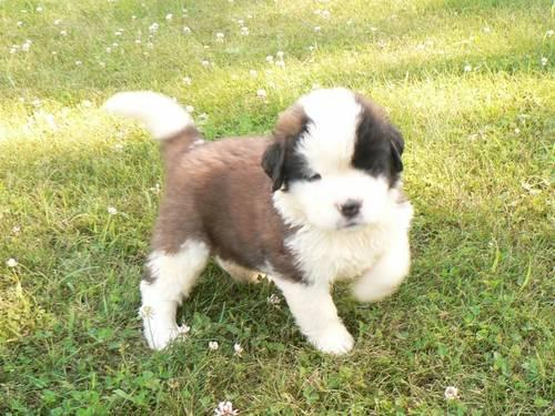 St Bernard Pets And Animals For Sale In Minnesota Puppy And Kitten