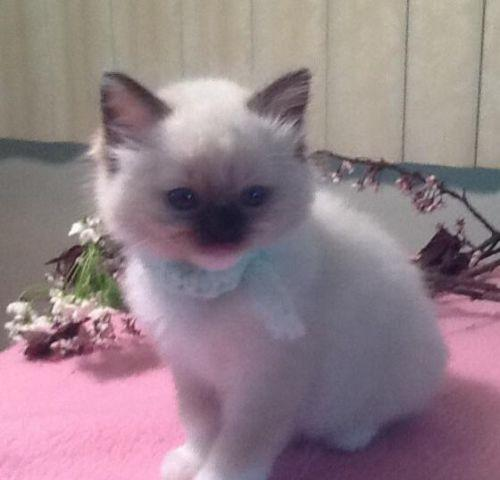 Beautiful Ragdoll girl Available