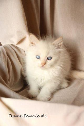 Beautiful Ragdoll Kittens For Sale In Pittsburgh Pennsylvania Classified Americanlisted Com