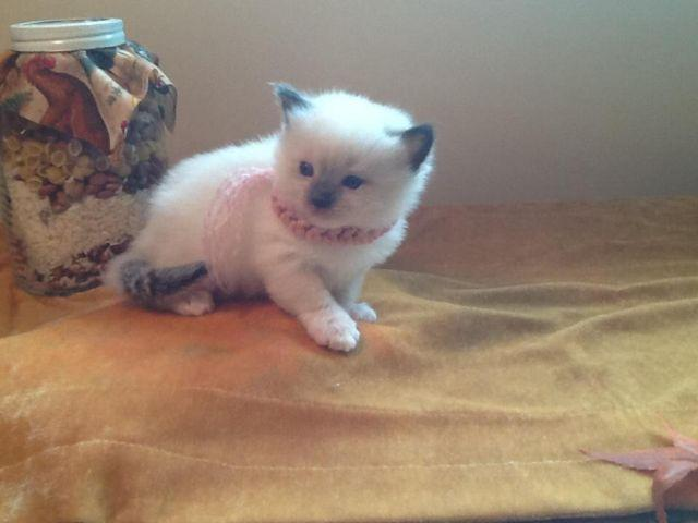 Beautiful Ragdoll Kittens, Male and Female Mom and Dad