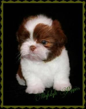Beautiful Red Liver And White Shih Tzu Male For Sale In Leesburg