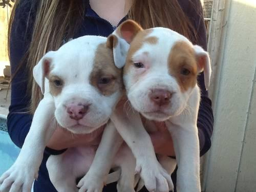 Beautiful Red Nose Pitbull Puppy's **** for Sale in San ...