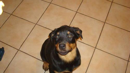 Beautiful Rottweiler Puppies For Sale For Sale In Capitol Heights
