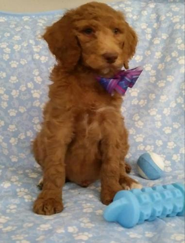 Beautiful Royal Standard Poodle Puppies From Akc Champion
