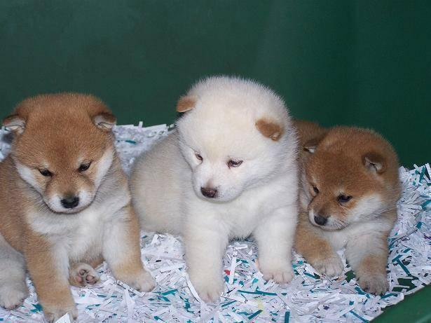 Beautiful Shiba Inu Puppies For Sale For Sale In De Berry Texas
