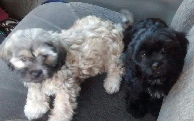 Beautiful Shih Poo Shih Tzupoodle Puppies For Sale In Houston
