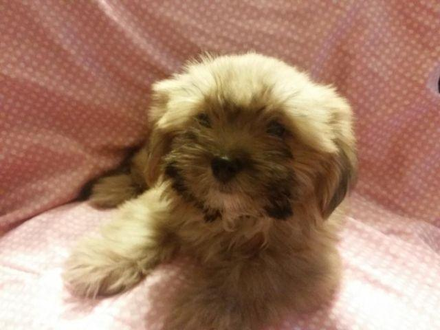 shih tzu puppies for sale in philadelphia beautiful shih tzu and shortie mixed puppies for sale in 2169