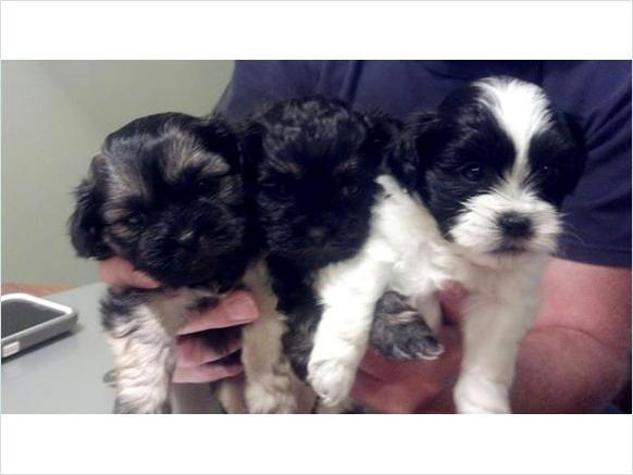 Beautiful Shih Tzucoton De Tulear Puppies For Sale In Newark New