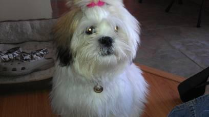 Beautiful Shih Tzu Lhasa Apso Mix Puppies For Sale For Sale In