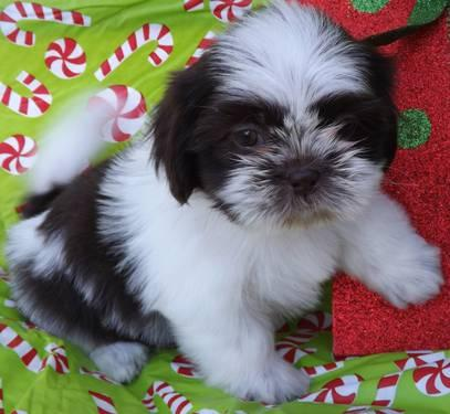 Beautiful Shih Tzu Puppies 8 Wks Old For Sale In Dallas Texas