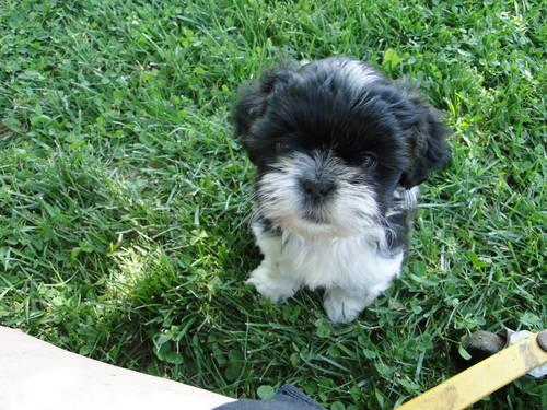 shih tzu puppies 8 weeks beautiful shih tzu puppies 8 weeks old for sale in bracht 5251