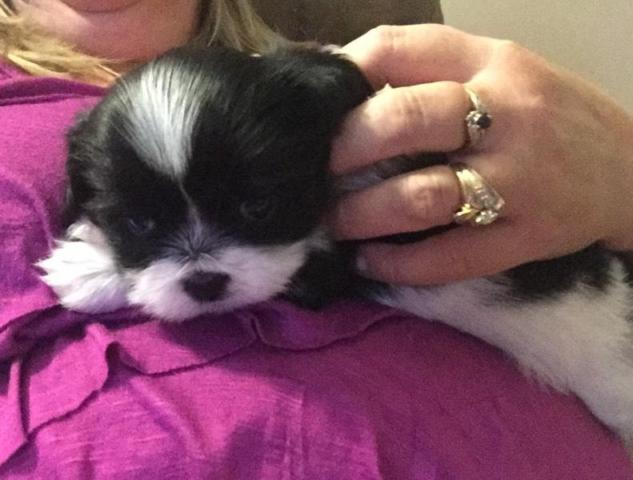 Beautiful Shih Tzu Puppies For Sale In Crawfordsville Indiana