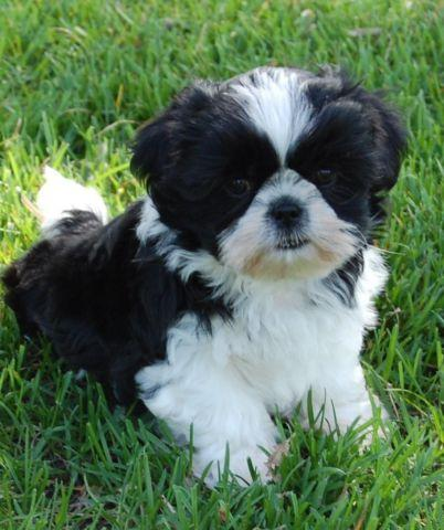 Beautiful shih tzu puppies available 2 black white males for Old black and white photos for sale