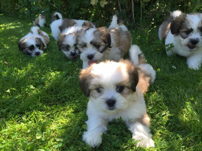 shih tzu puppies for sale in asheville nc beautiful shih tzu pups for sale in asheville north 6798