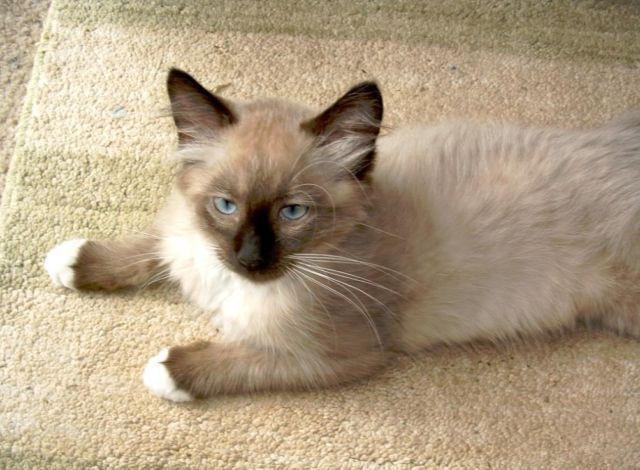 gray female kitten names