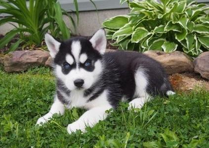 Siberian Huskies Male Pets And Animals For Sale In The Usa Puppy