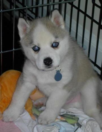 Beautiful Siberian Husky purebred puppy born April 4,