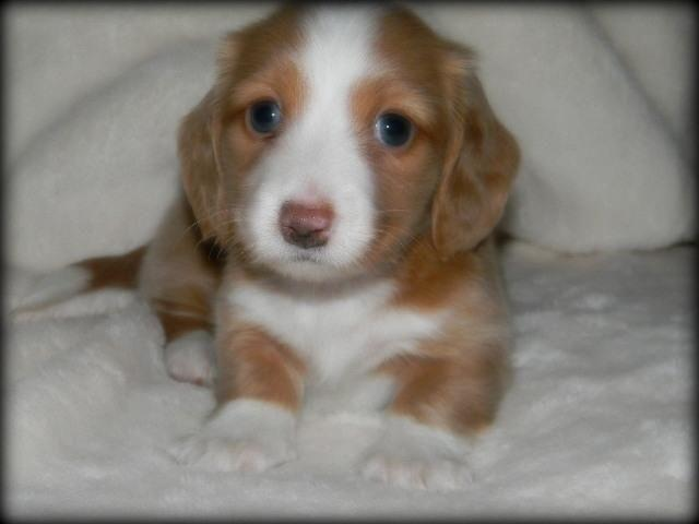 Beautiful Small Akc Longhaired Cream Pie Miniature