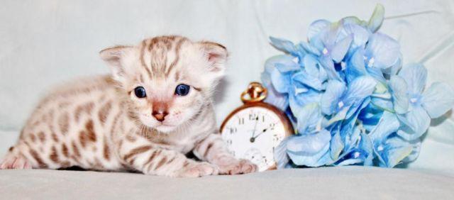 Beautiful Snow Bengal Kittens