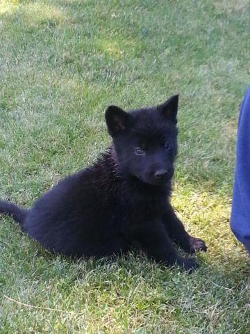 Beautiful solid black German Shepherd puppies for adoption for Sale in Hauser, Idaho Classified ...