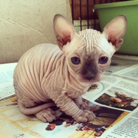 Beautiful Sphynx Kitten
